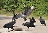 Black Vultures eating a dead Raccoon