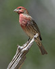 House Finch (Male)
