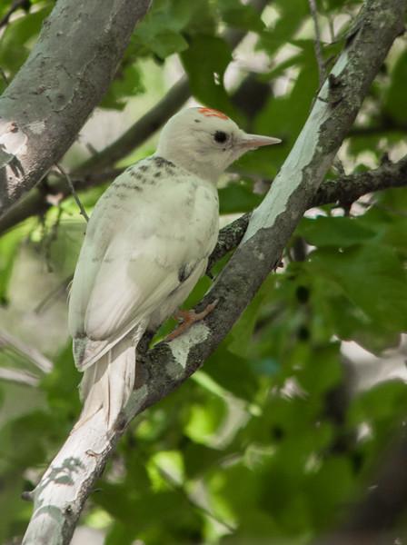 Ladder-backed Woodpecker (Male) (Leucistic)