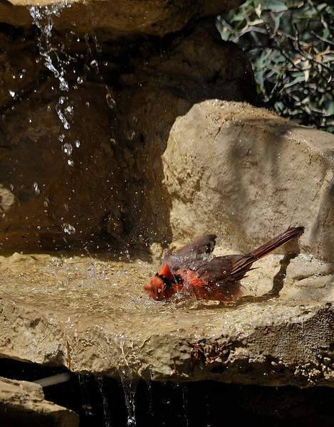 Northern Cardinal bathing (Male)