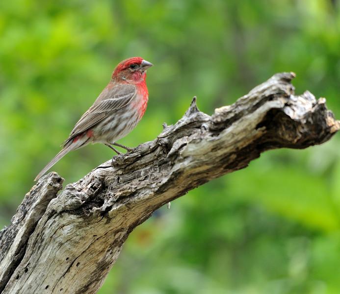 House Finch (Male)