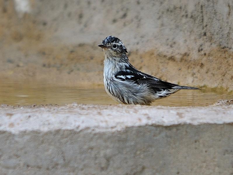 Black & White Warbler bathing