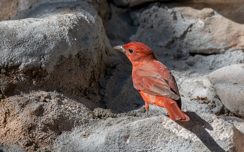 State Parks; Texas State Parks; South Llano River State Park; Birds; Tanagers, Summer Tanagers,