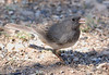 Dark-eyed Sparrow (Female) Slate-colored Group
