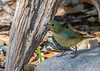 Painted Bunting (Immature Male)