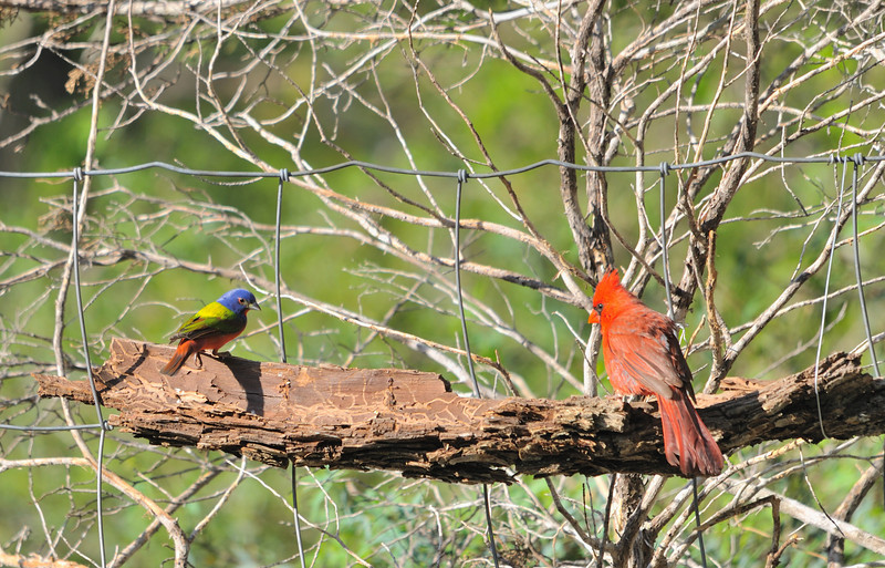 Painted Bunting (Male)  & Northern Cardinal (Male)