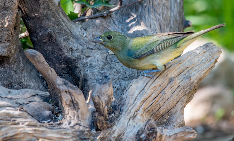 Painted  Bunting  (Imamture Male)