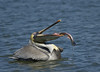 Brown Pelican (Adult)