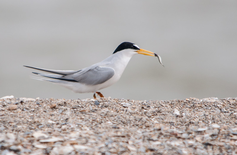 Least Tern with minnow to offer its mate