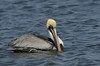 Brown Pelican (Adult)