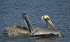Brown Pelicans (Immature on Left)