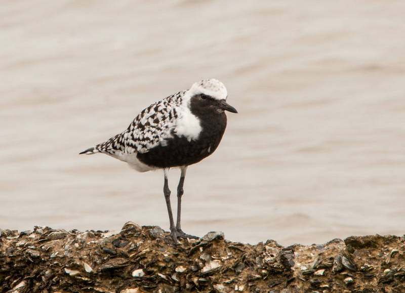 Black-bellied Plover (Breeding Plumage)