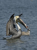 Brown Pelican (Adult)  Herring Gull (Immature)