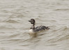 Common Loon (Transitional Plumage)