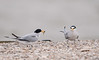 Least Tern offering its mate a minnow