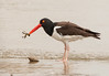 American Oystercatcher with Hermit Crab