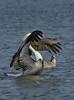 Brown Pelican (Adult)  Herring Gull (Immature)