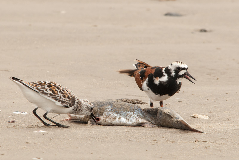 Sanderling and Ruddy Turnstone sharing a meal