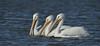 White-Pelicans