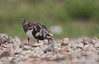 Ruddy Turnstone turning stones.