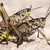 "We stopped at the Trinity River Recreation Area and found it was apparently mating season for the Southeastern Lubber Grasshoppers.  They were all over the roadway but those that were ""occupied"" did not seem to mind being photographed and I was able to get quite close to them."