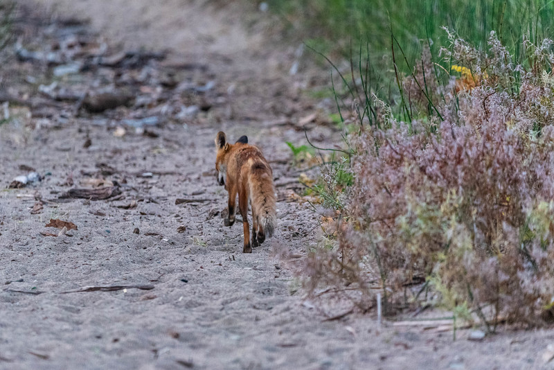 Fox Trotting