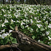 Trillium blooming all over at Tri County State Park.