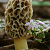 Morel Mushroom at Tri County
