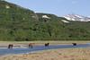Brown bears (Ursus arctos), Geographic Harbor, Katmai National Park, Alaska