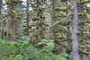 Moss Covered Sitka Spruce, Kodiak Island, Alaska