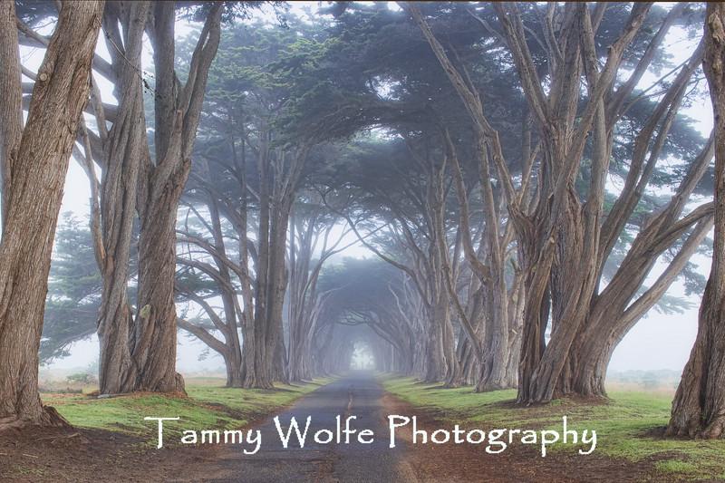 Cypress Tree Tunnel, Point Reyes, California