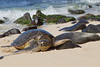 Hawaiian Green Turtle (Chelonia mydas), Coming ashore to rest and bask in the sun