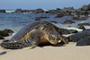 Hawaiian Green Turtle (Chelonia mydas), Crawling ashore to rest and bask in the sun