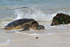 Hawaiian Green Sea Turtle (Chelonia mydas), Brutus, Crawling ashore to rest and bask in the sun