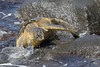 Hawaiian Green Turtle (Chelonia mydas)