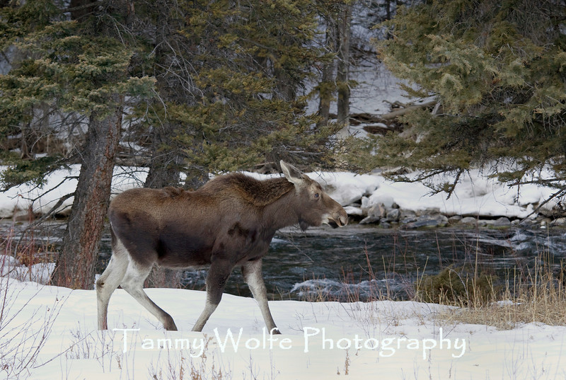 Moose (Alces alces), Gallatin River, Montana