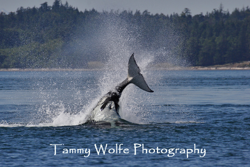Transient Orca in the Salish Sea