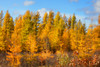 Tamarack (Tamarac) Trees in the fall at Crex Meadows