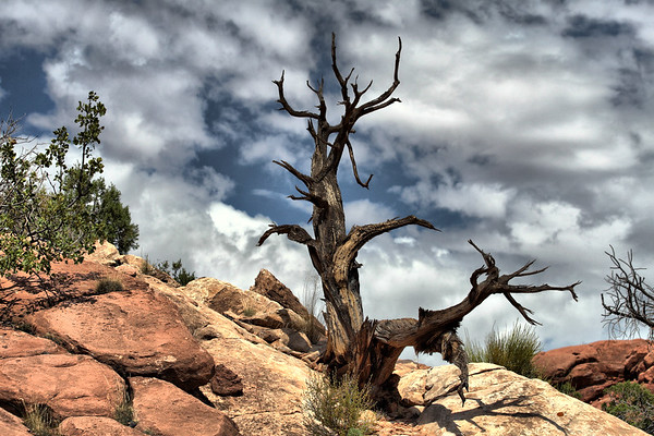 Tree at Canyonlands NP, Island in the Sky, Moab, Utah