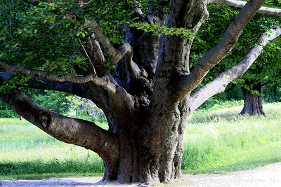 Big old tree at Minuteman National Historic Park, Concord,MA