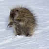 Porcupine on ski trail.<br /> A porcupine approches skiers for a hand out on Simba ski trail in Vail, CO.