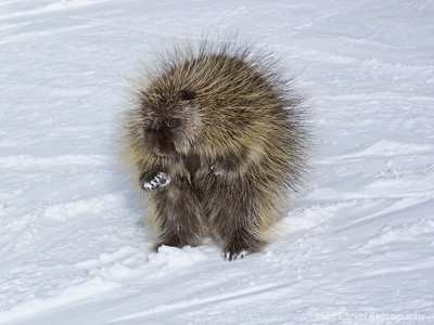 Porcupine on ski trail. A porcupine approches skiers for a hand out on Simba ski trail in Vail, CO.