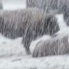 Bison in Snowstorm