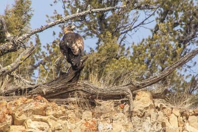 Golden Eagle perched in juniper snag.