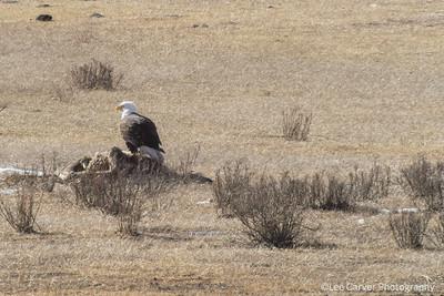 Bald Eagle guards elk carcas
