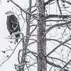 Bald Eagle in tree in snowstorm .