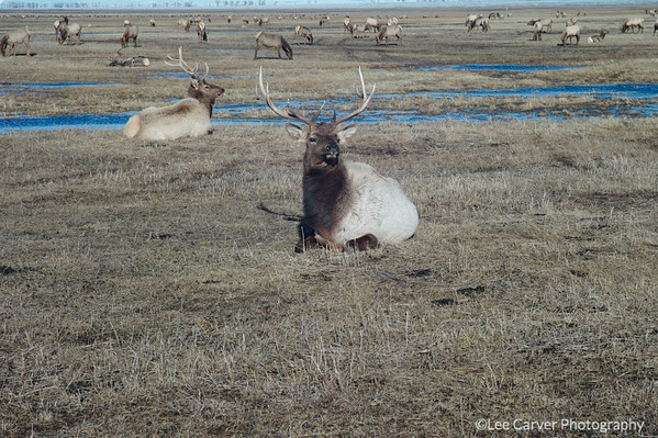 Elk on National Preserve, Jackson, WY.