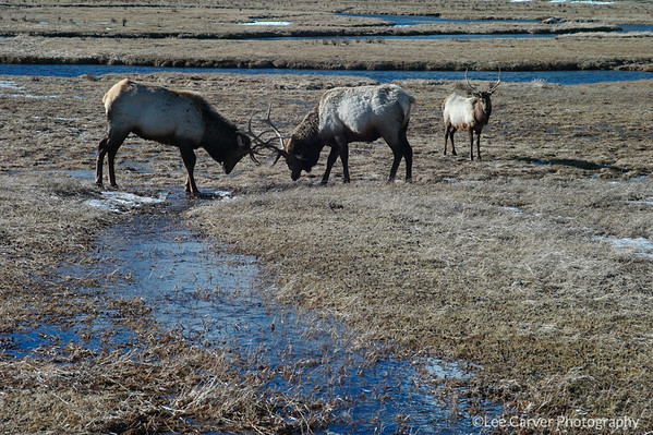 Elk on National Preserve, Jackson, WY.