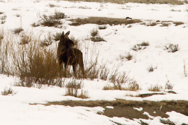 Moose munches willows creekside.
