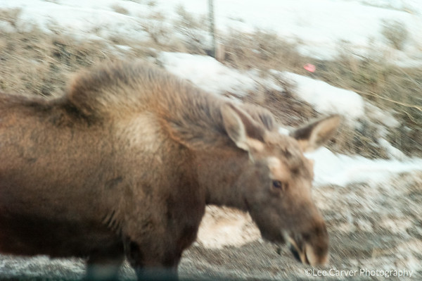Moose in residential neighborhood